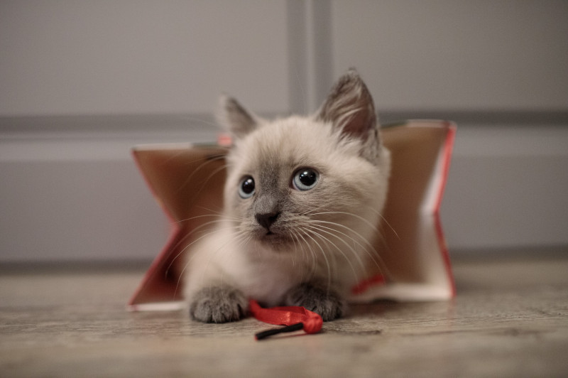 アイルーみたいな猫